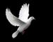 White-Dove- 75 x 60